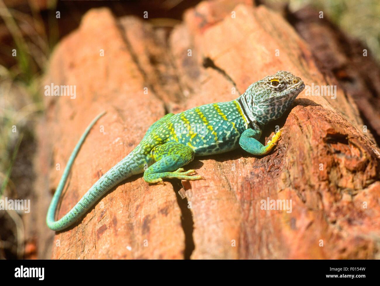 collared lizard, Petrified Forest National Park, Arizona - Stock Image