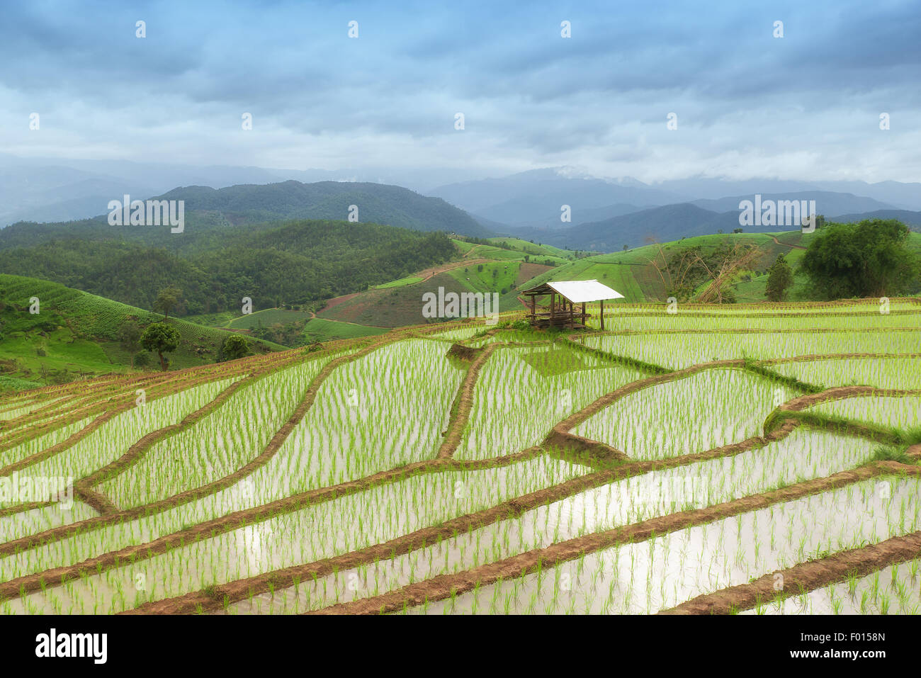 Green Terraced Rice Field in Pa Pong Pieng ,Chiang Mai, Thailand - Stock Image