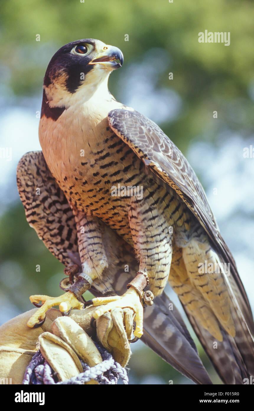 disabled peregrin falcon, Falco peregrinus, Santa Barbara Wildlife Care Network, Santa Barbara, California - Stock Image