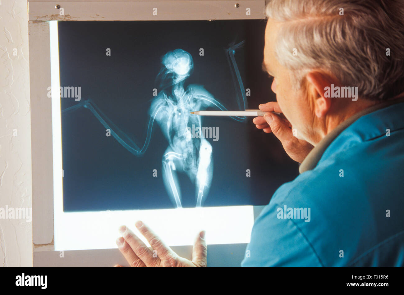 veterinarian examines x-ray of bird shot by hunter, Santa Barbara Wildlife Care Network, Santa Barbara, California - Stock Image