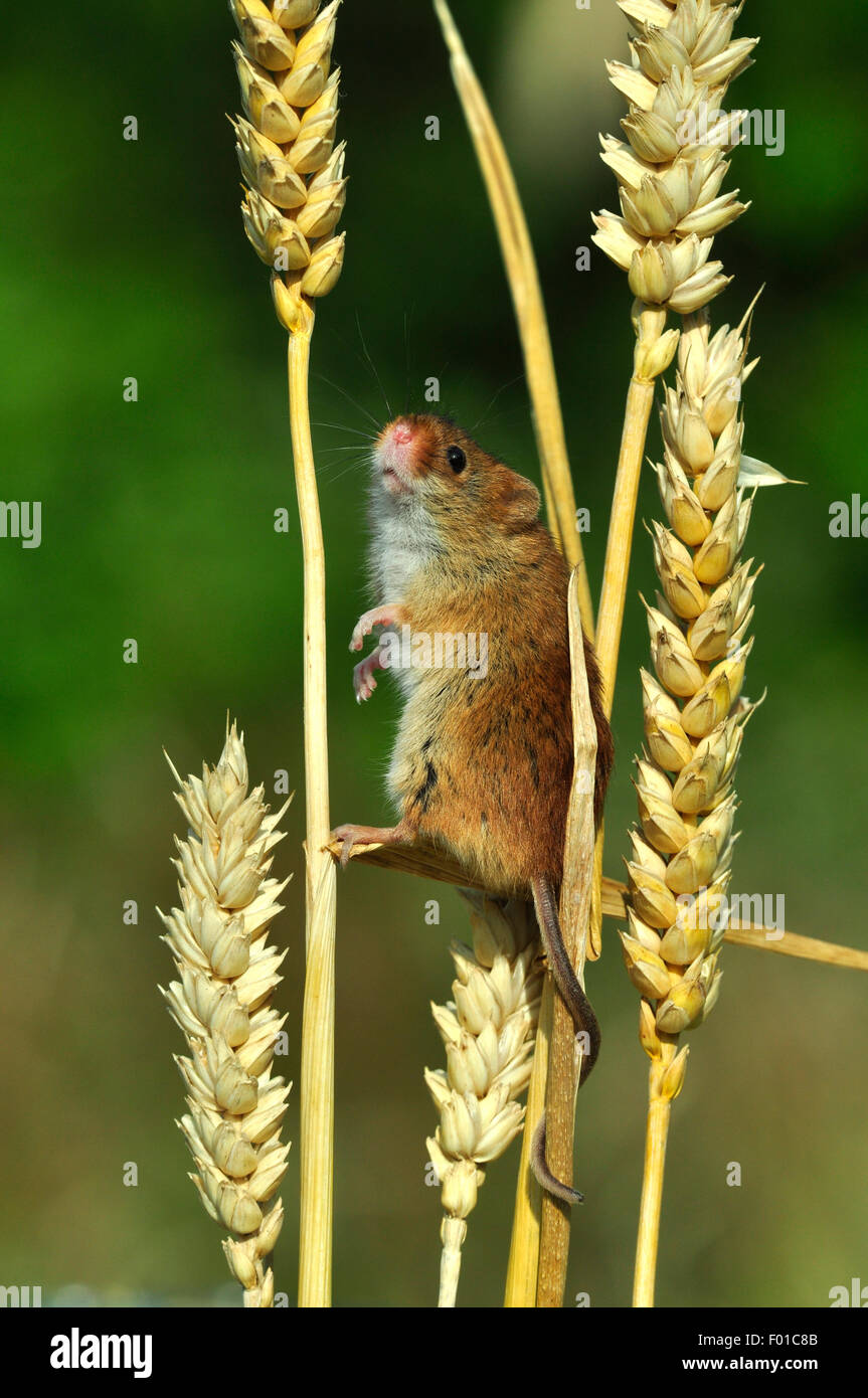 One tiny harvest mouse climbing on the stalks of corn UK - Stock Image