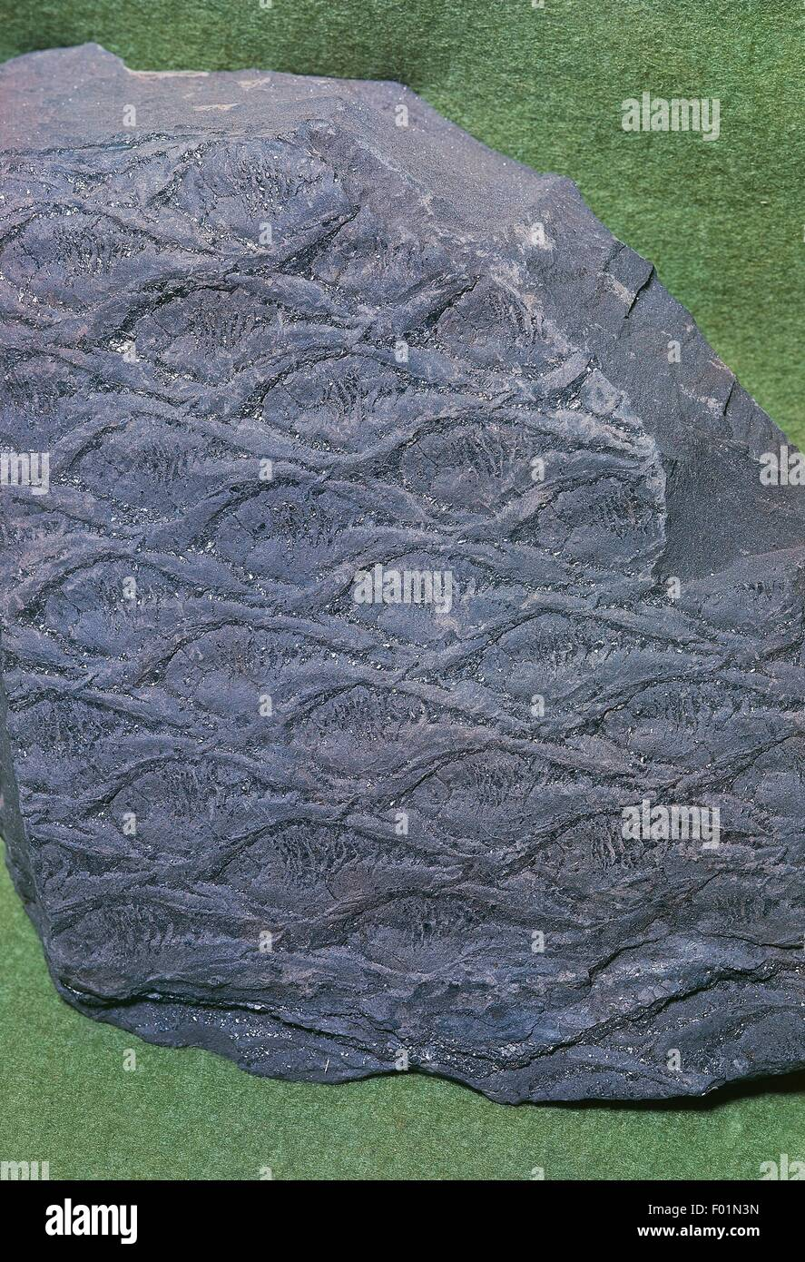 Lepidodendron sternbergii fossil, Lepidodendraceae, Visean, Carboniferous. Stock Photo