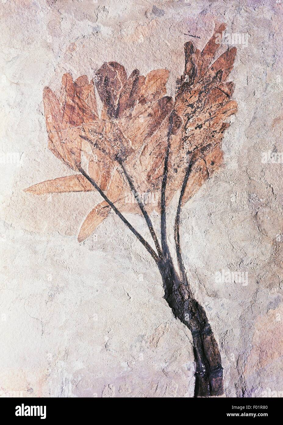 Fossilised plant from Middle Eocene Age. - Stock Image