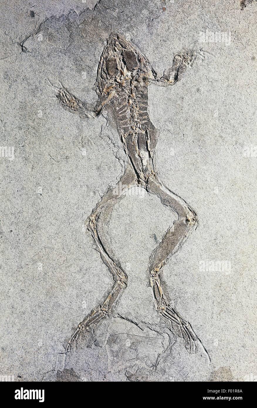 Rana pueyoi fossil, Amphibians, Late Miocene Age, Libros, Spain. - Stock Image