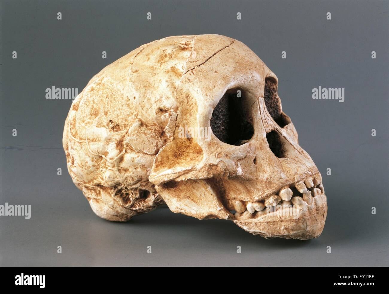 Anthropology - Skull of Gracile Australopithecine (Australopithecus Africanus). From South Africa, Taung. - Stock Image