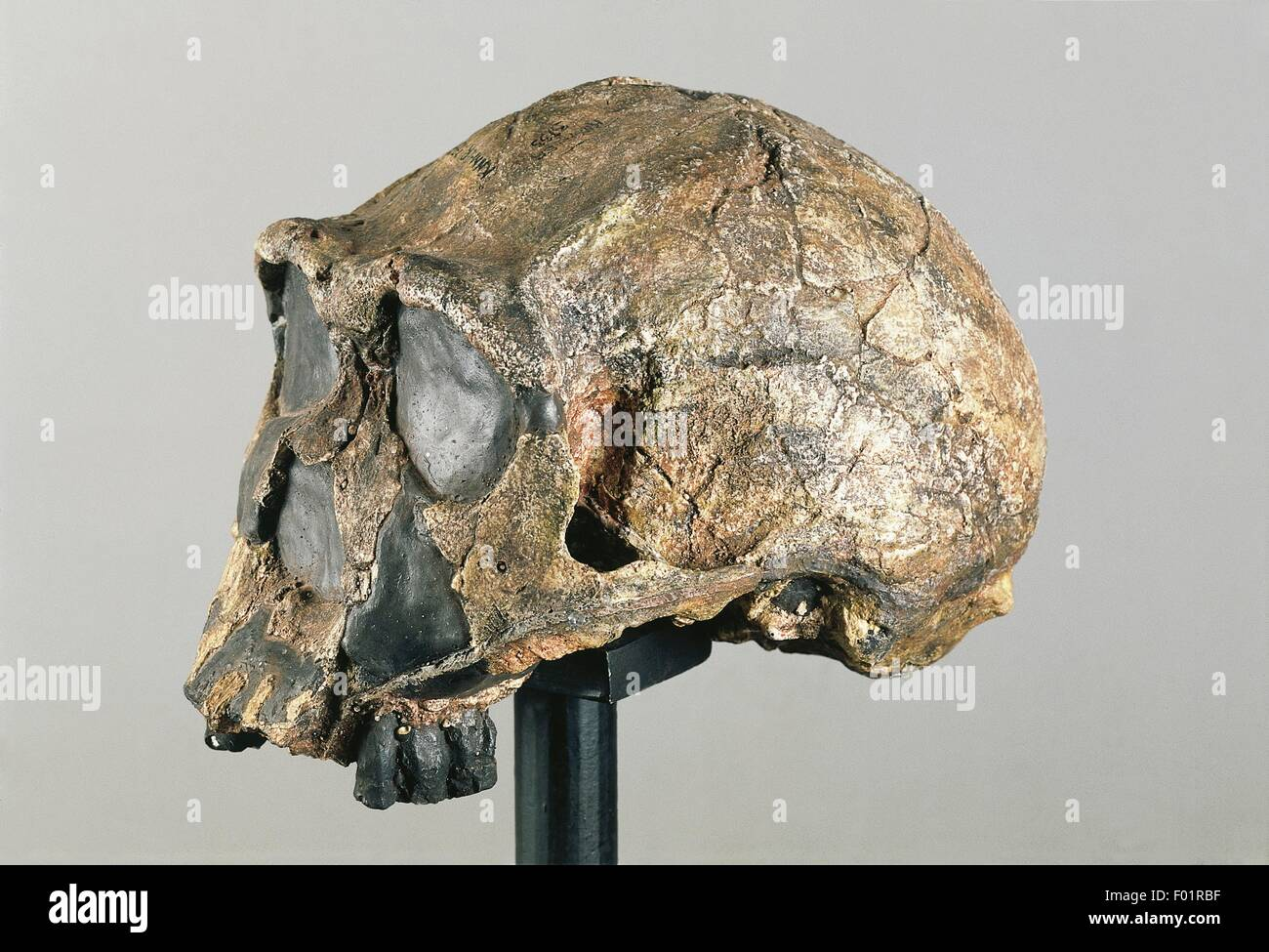 Anthropology - Skull of  Homo Erectus. From Kenya. - Stock Image
