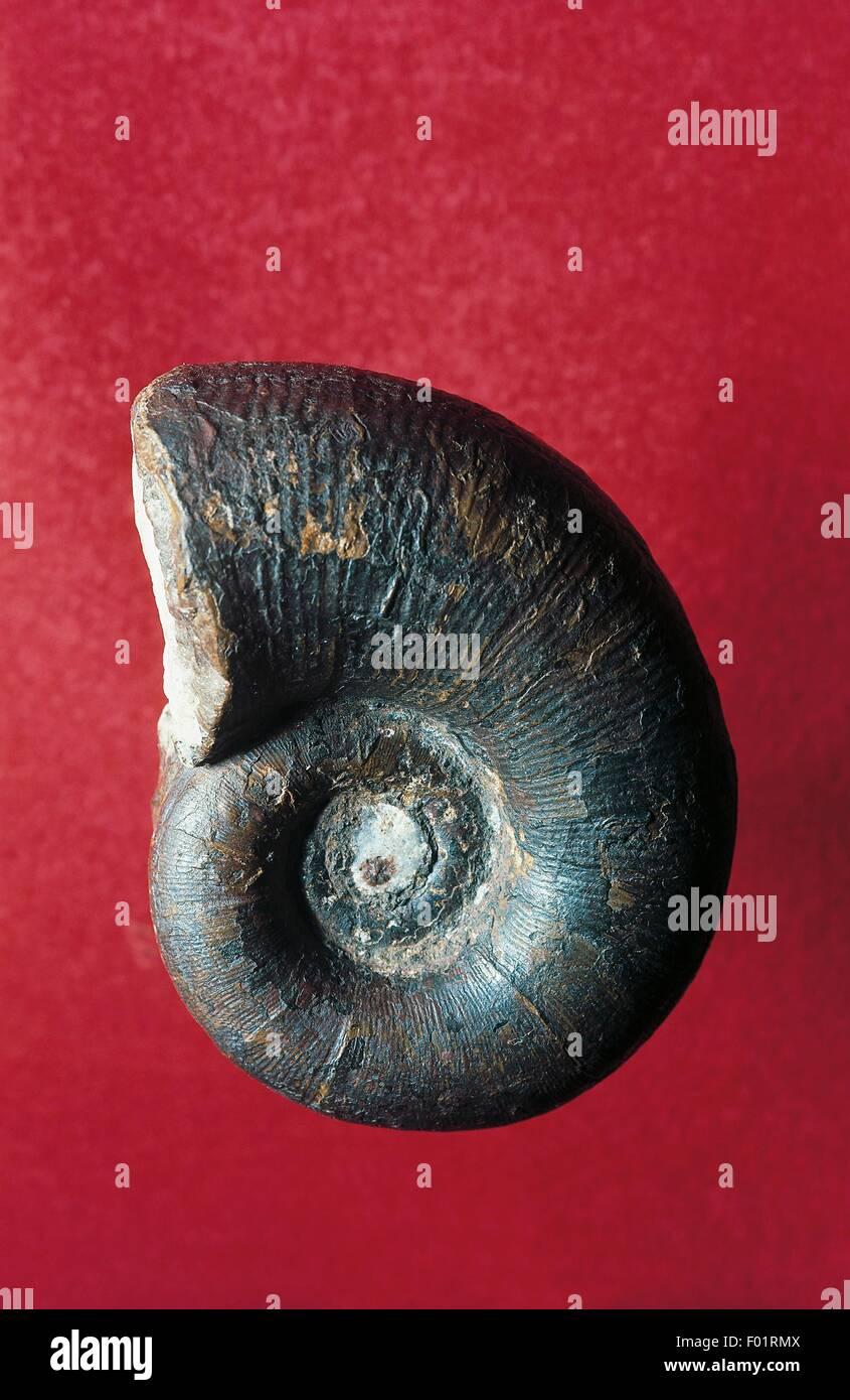 Lytoceras cornucopia ammonite fossil, Lytoceratidae, Cephalopoda, Jurassic, Brescia, Lombardy, Italy. - Stock Image