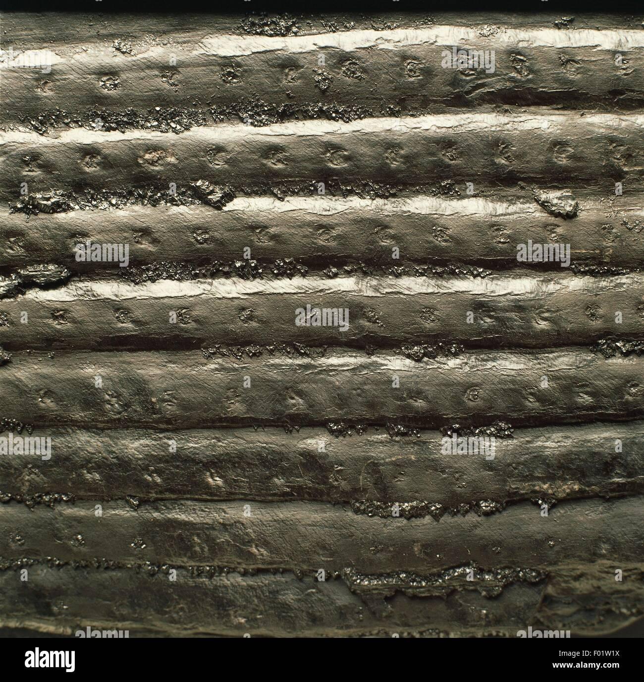 Fossils - Plants - Lycopodiophyta - Isoetopsida - Sigillaria elongata - Carboniferous. Stock Photo