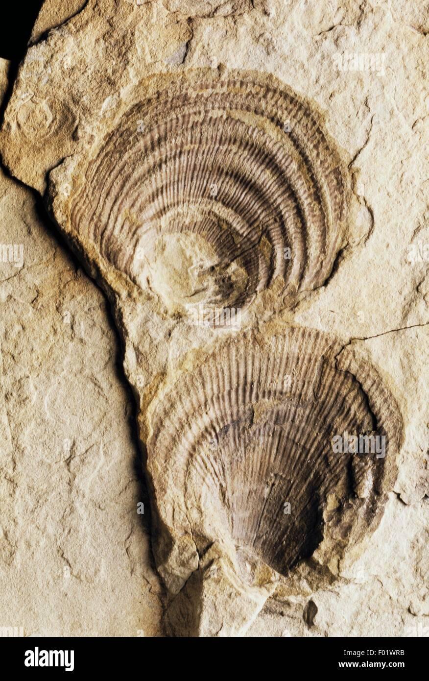 Claraia clarai fossils, Bivalvia, Early Triassic. - Stock Image