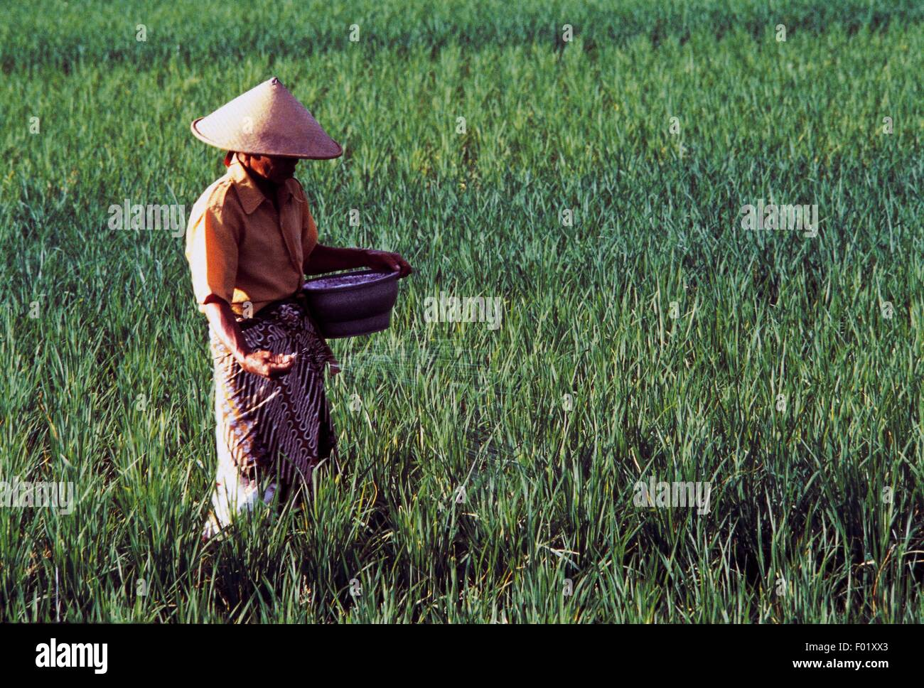 Peasant in a paddy field, island of Java, Indonesia. - Stock Image