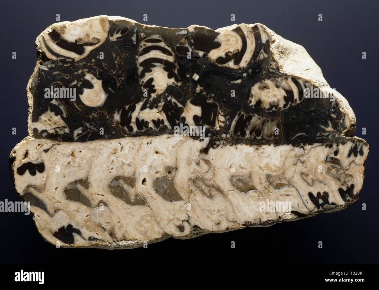 Fossil Limestone, Cretaceous. - Stock Image