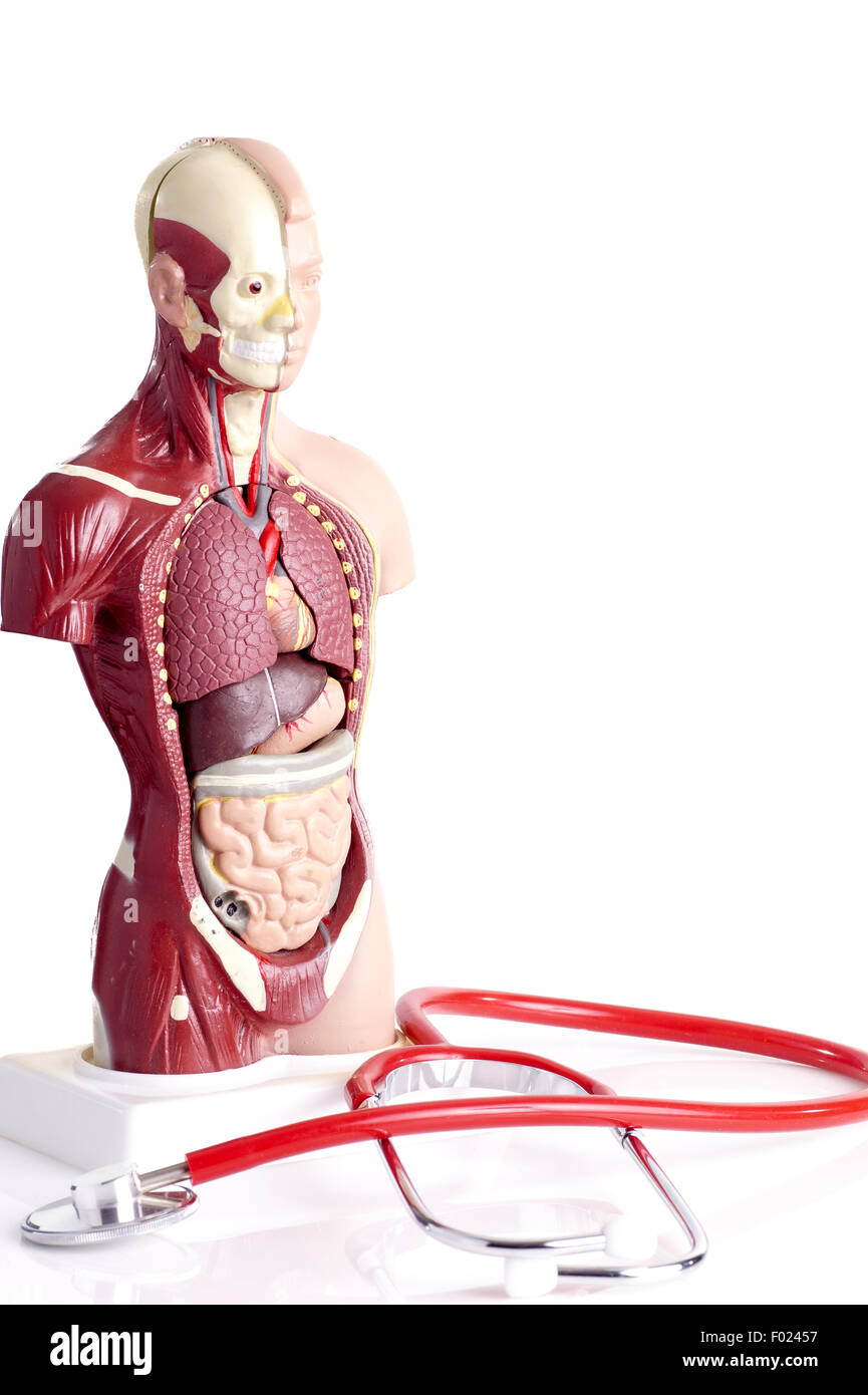 Human anatomy model and stethoscope used for teaching students and human anatomy model and stethoscope used for teaching students and patients about the bodys vital organs of teachers and doctor ccuart Choice Image
