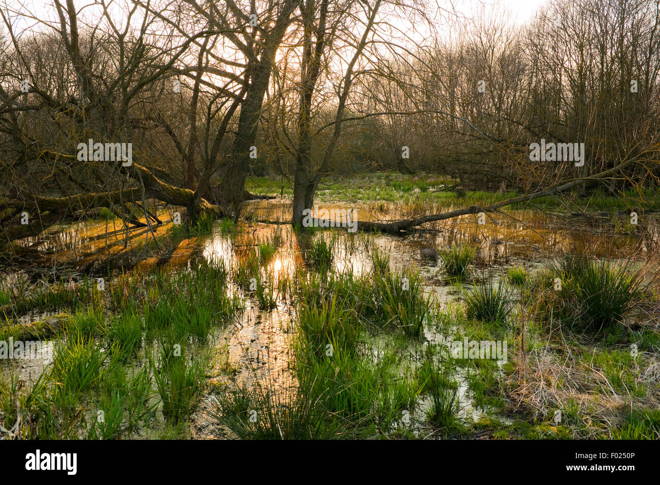 Softwood river meadow with willows (Salix sp.), spring, nature reserve Drömling, Lower Saxony, Germany - Stock Image