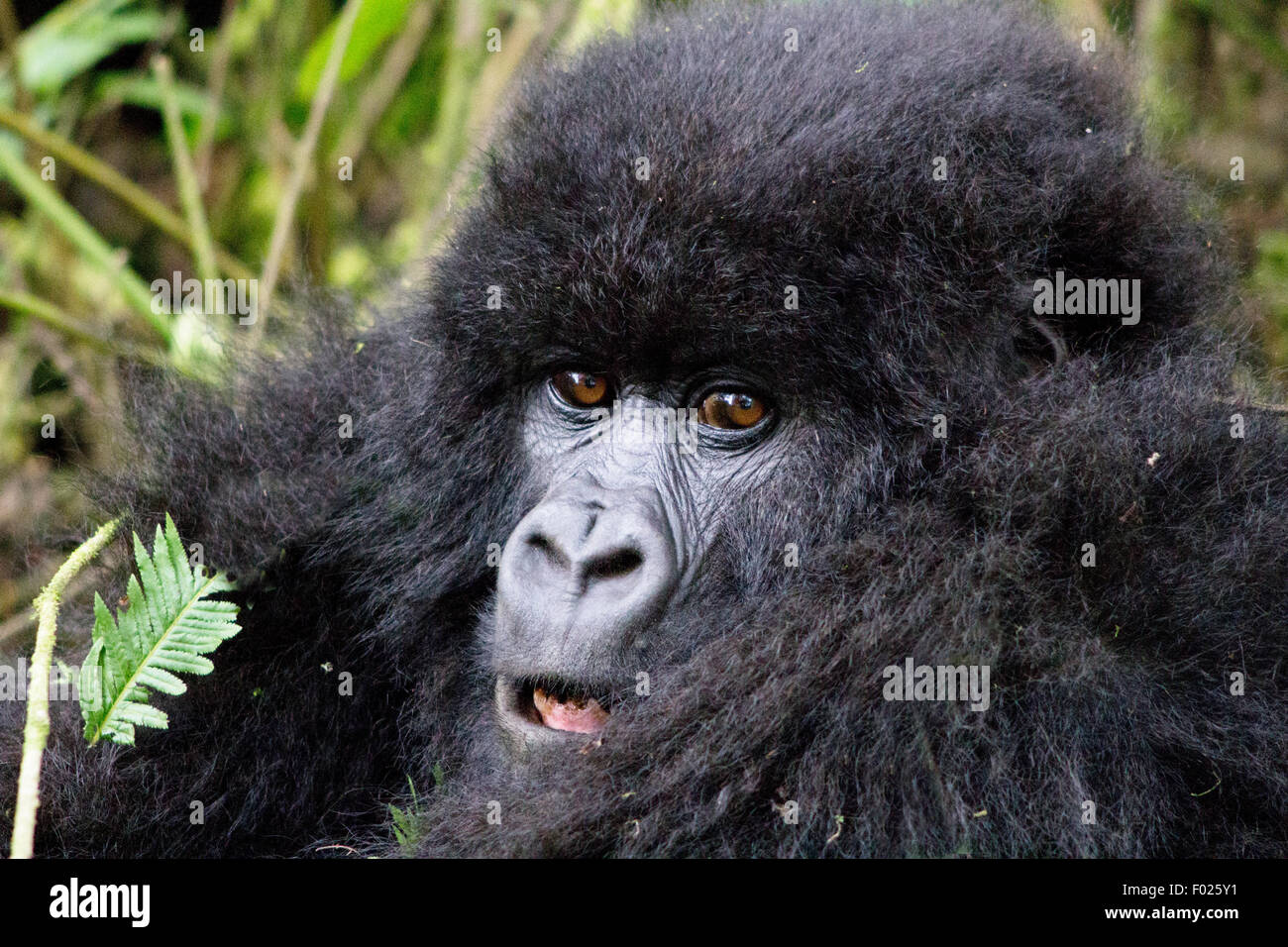 Young mountain gorilla (beringei beringei) in Volcanoes National Park, Rwanda Stock Photo