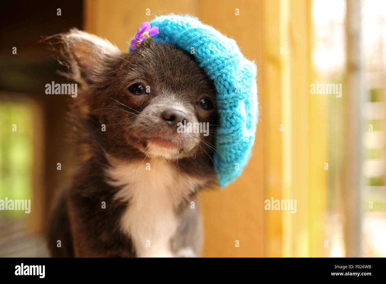 Chihuahua puppy wearing knitted hat - Stock Image