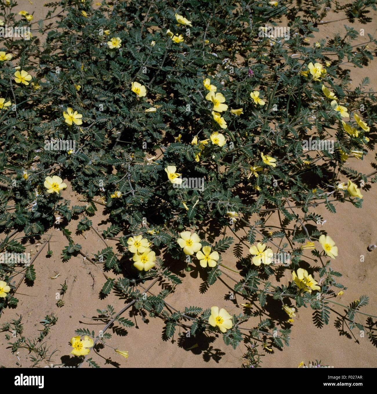 Tribulus Terrestris Stock Photos Images Bindii In Bloom Kgalagadi Transfrontier Park South Africa