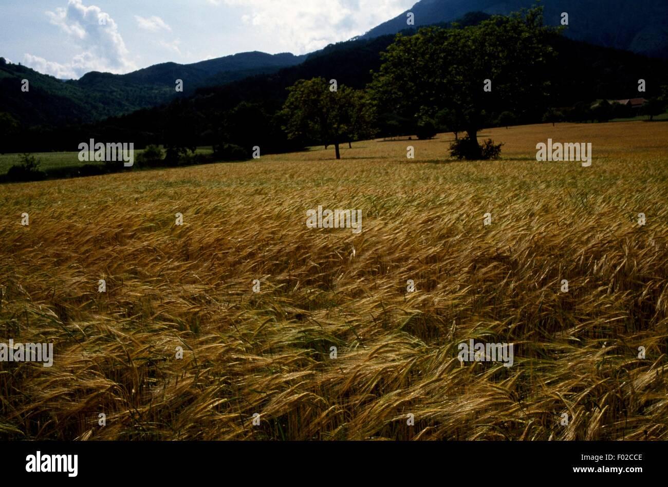 Barley field nearby Luc en Diois, Vercors Regional Natural Park (Parc naturel regional du Vercors), Drome, France. - Stock Image
