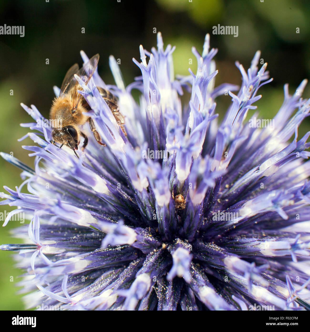 closeup of bee on purple thistle or Echinops bannaticus - Stock Image