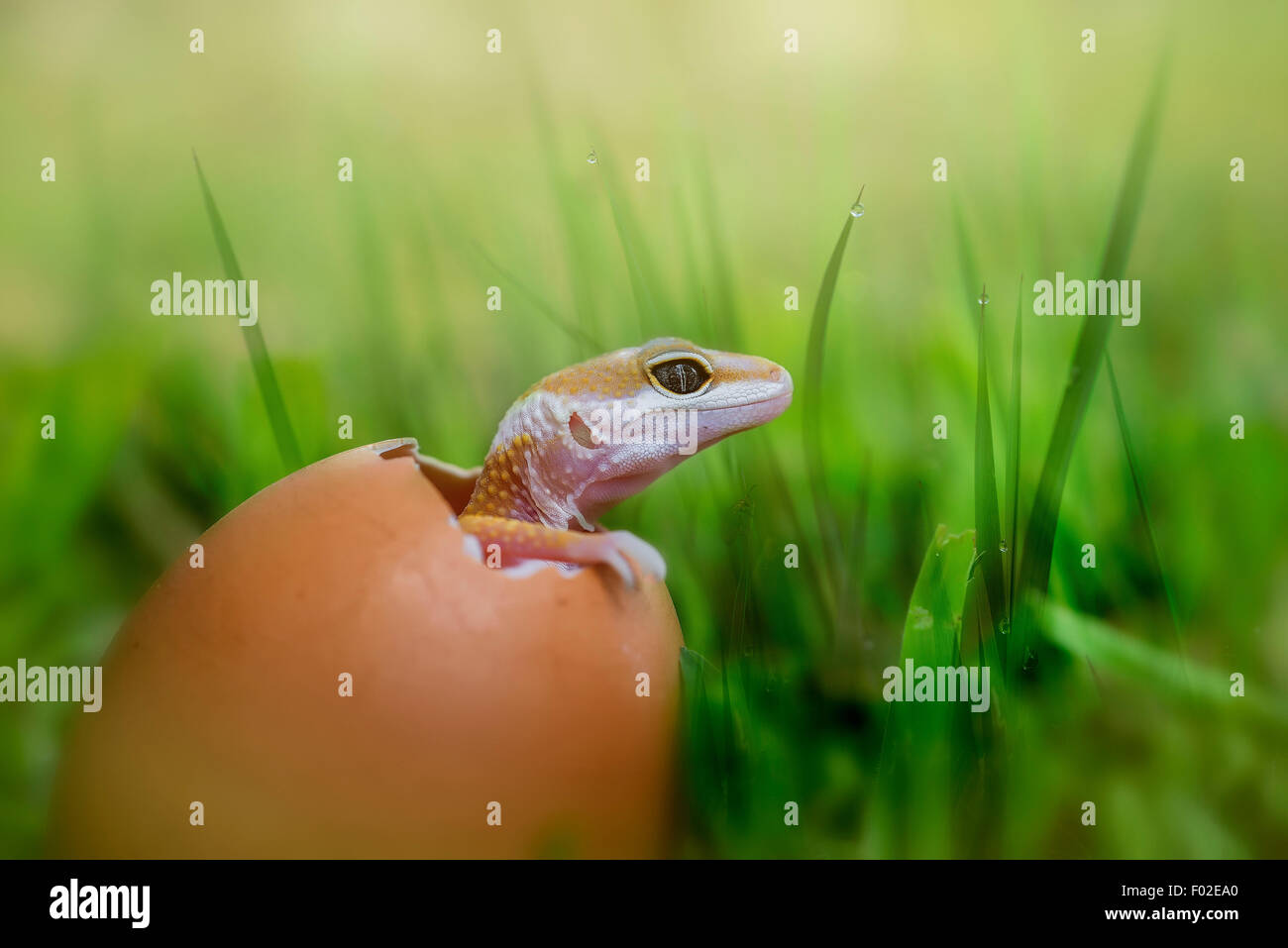 Baby lizard hatching from egg - Stock Image