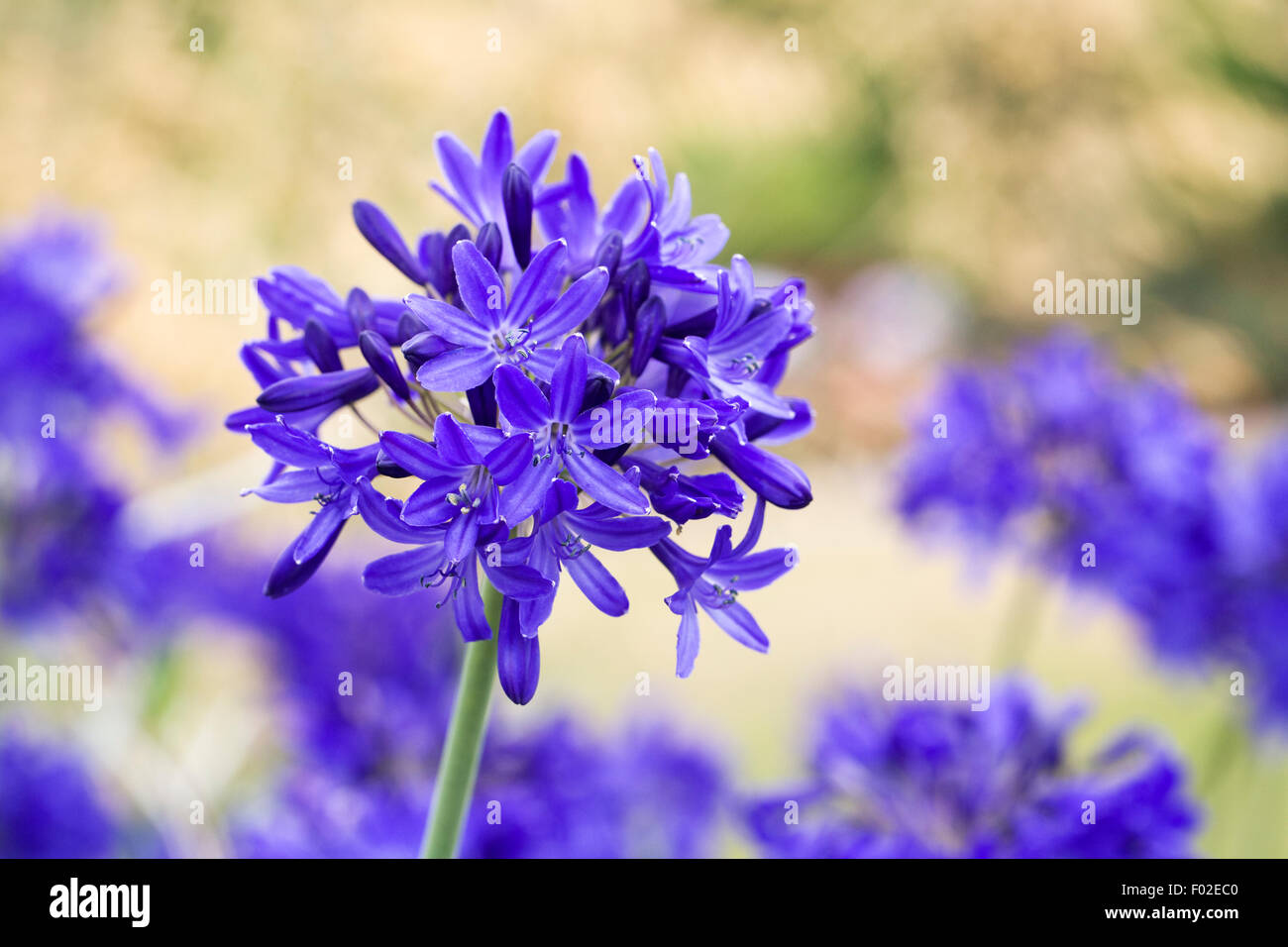Agapanthus 'Taw Valley'. - Stock Image
