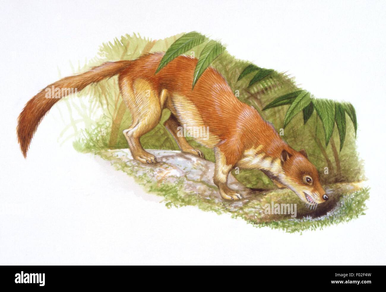 Palaeozoology - Miocene/Pliocene period - Extinct mammals - Ictitherium (Hyaenidae) - Art work by Steve Roberts - Stock Image