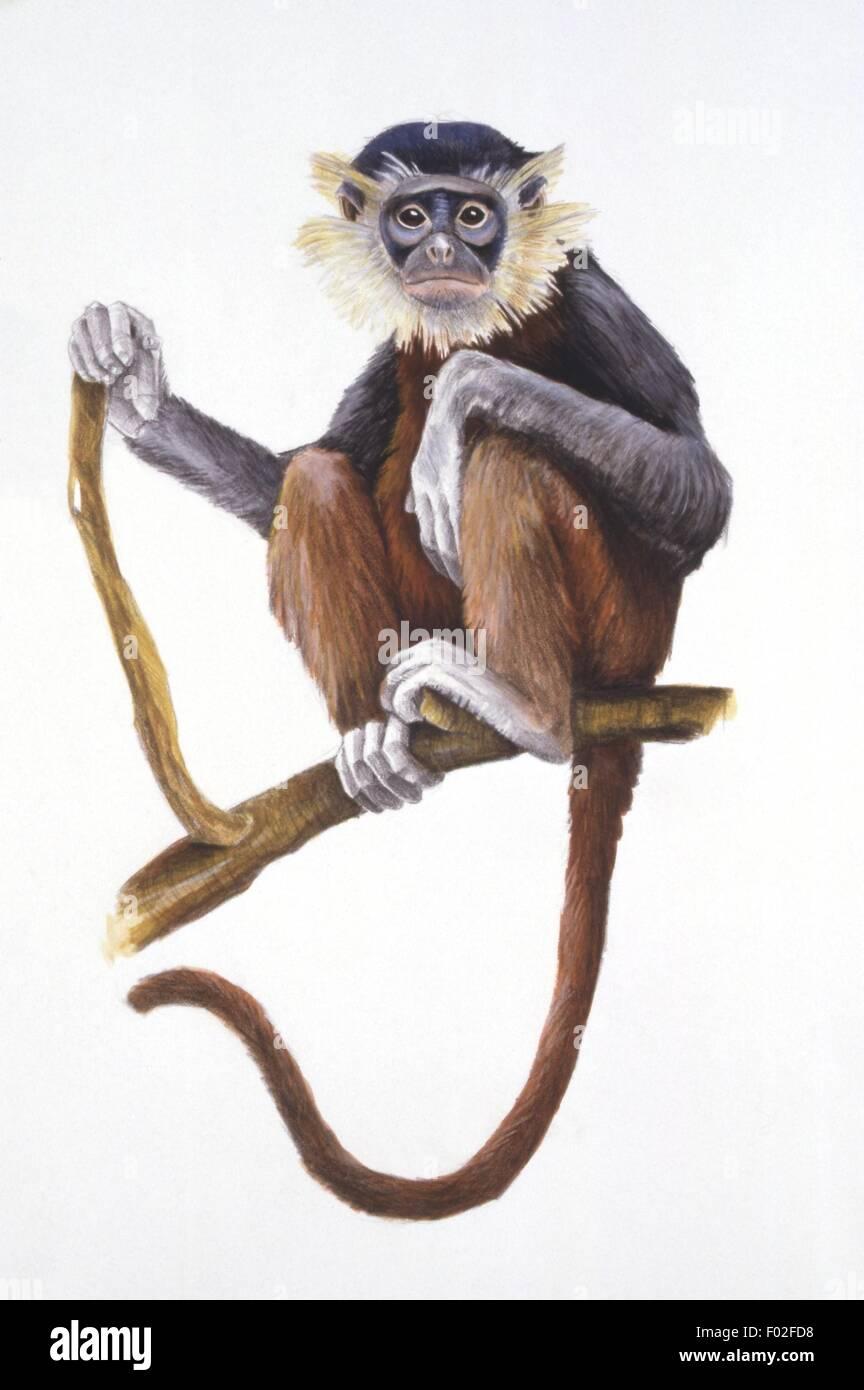 Palaeozoology - Miocene/Pliocene period - Extinct mammals - Primates - Mesopithecus - Art work - Stock Image