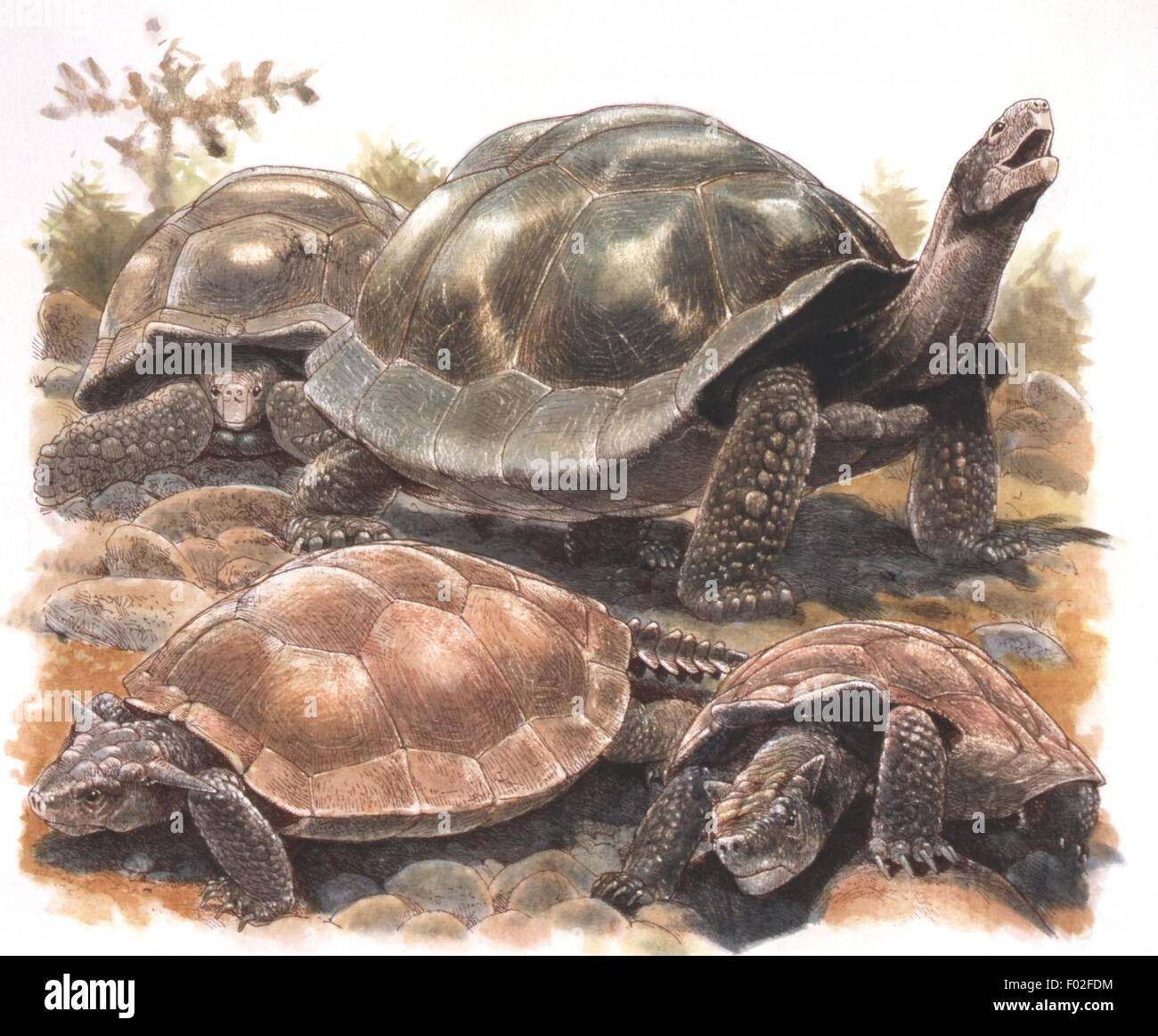 Zoology - Reptiles - Tortoises (Chelons) - Art work by J. Robins - Stock Image