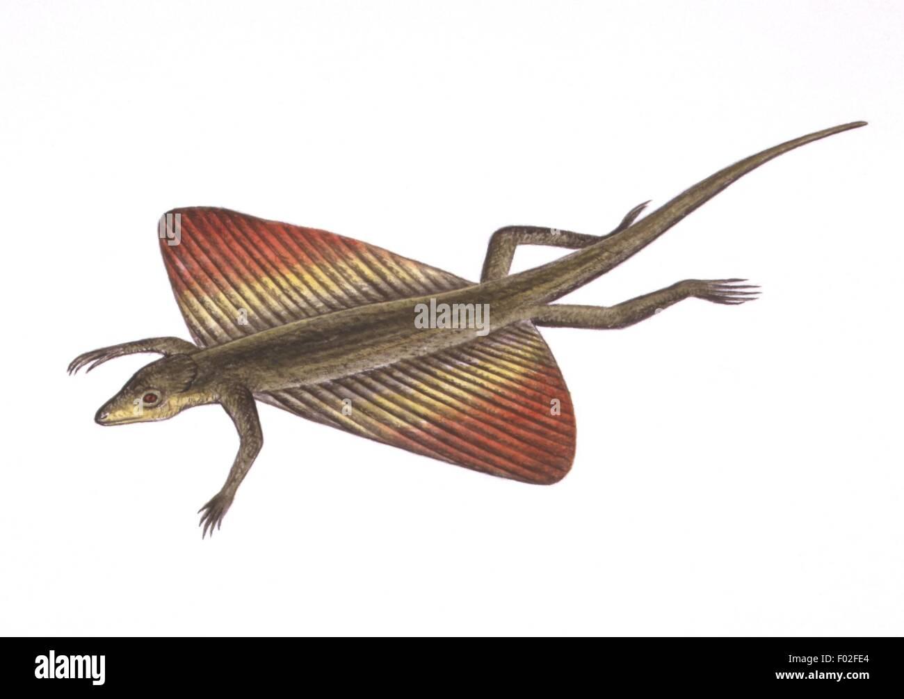 Zoology - Reptiles - Flying lizard (Draco volans) - Art work by Simon Turvey - Stock Image