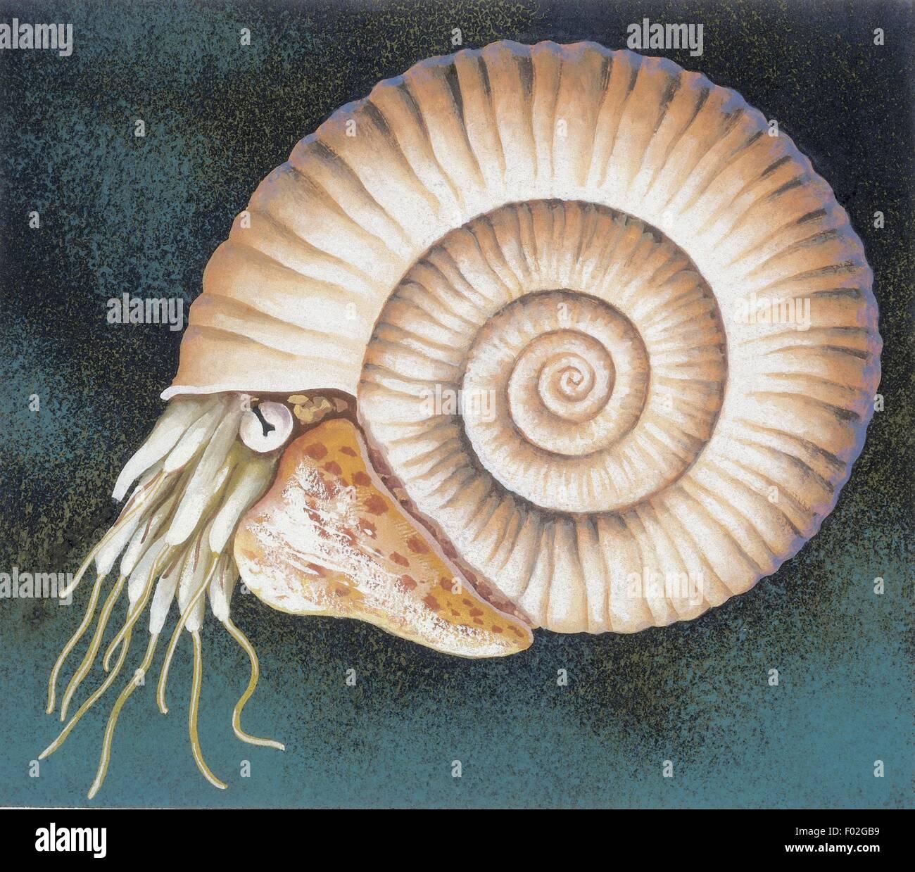 Zoology: Fossils - Ammonite. Art work - Stock Image