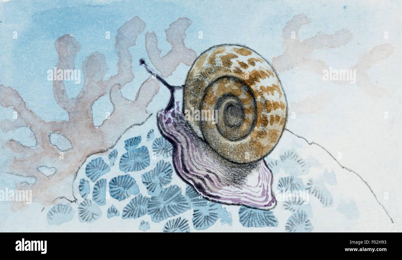 Planorbis sp, Gastropods genus, drawing. - Stock Image