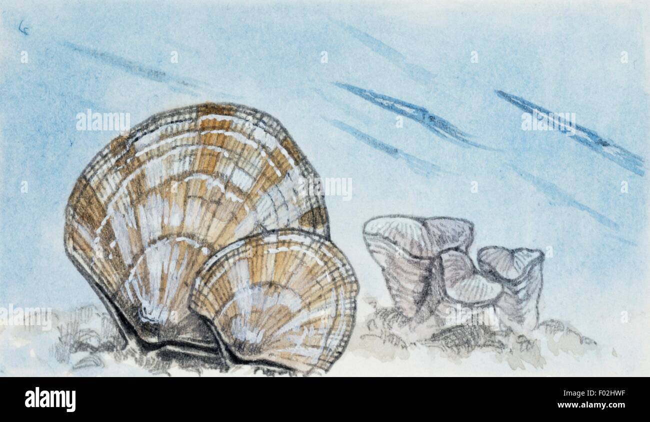 Reconstruction of Atrypa sp, extinct genus of Brachiopods. Drawing. - Stock Image