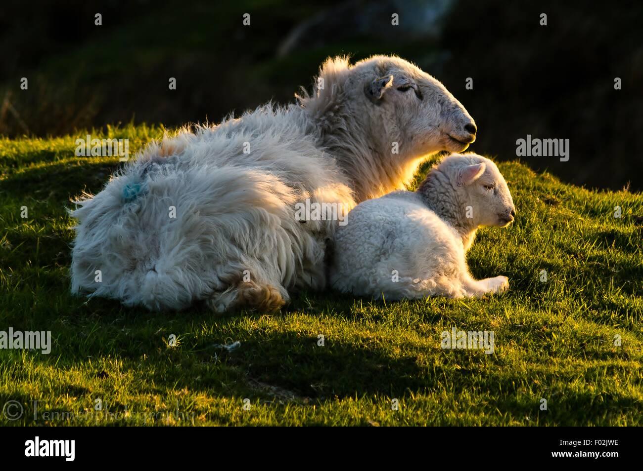 Ewe and Lamb at Sunset - Stock Image