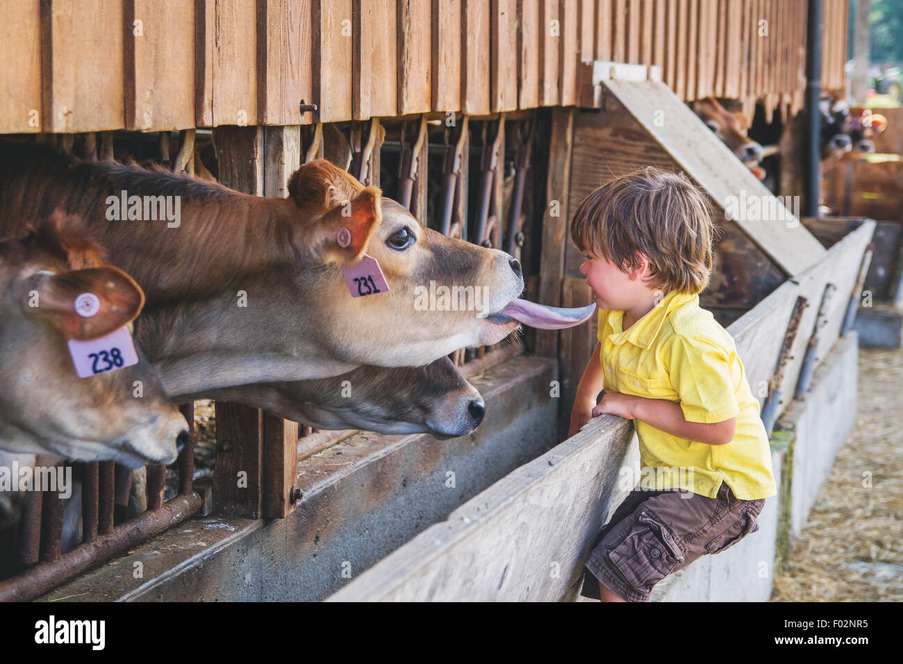 Boy looking at cows in stalls - Stock Image
