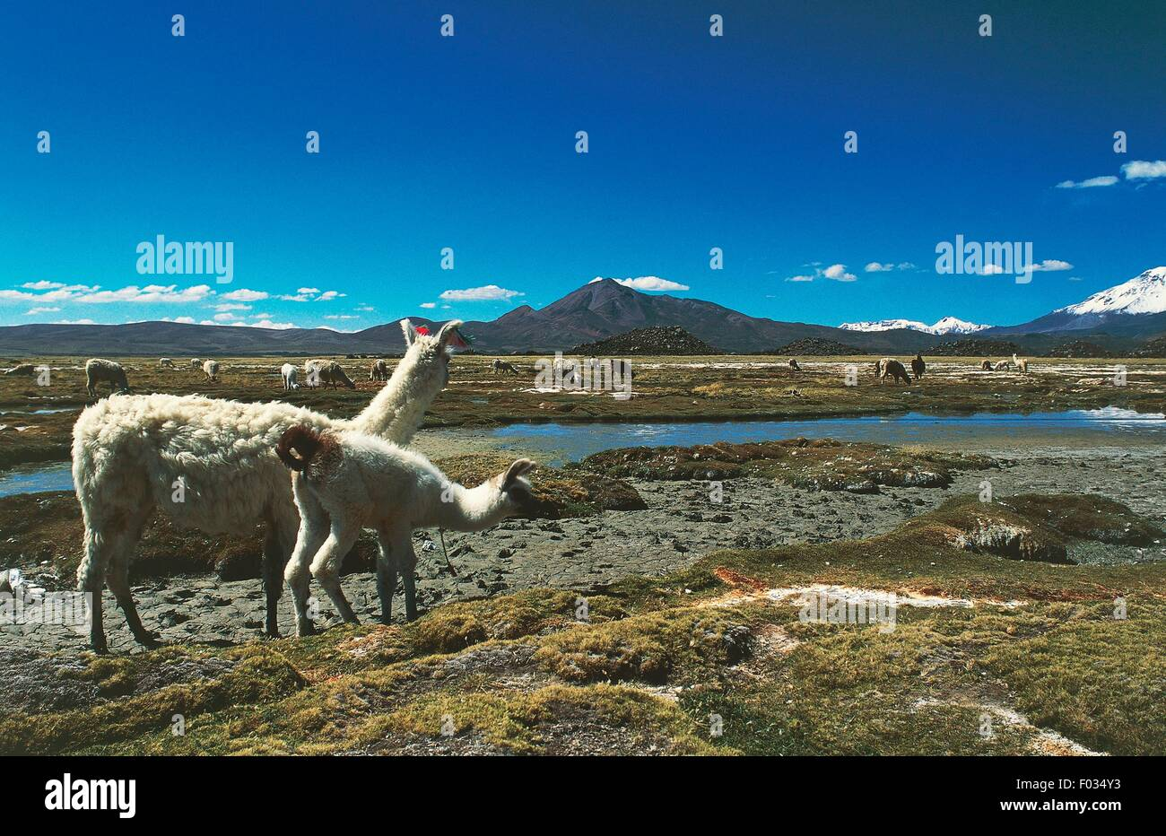 Guanacos (Lama guanicoe), Parinacota, Lauca National Park (UNESCO World Heritage List, 1981), Arica y Parinacota Stock Photo
