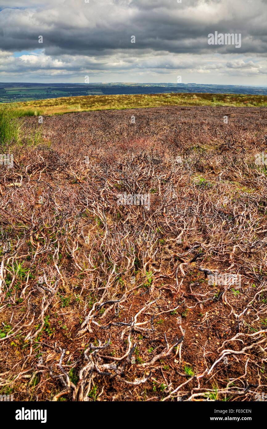 Burnt heather plant remains controlling measure Yorkshire Dales national park UK England - Stock Image