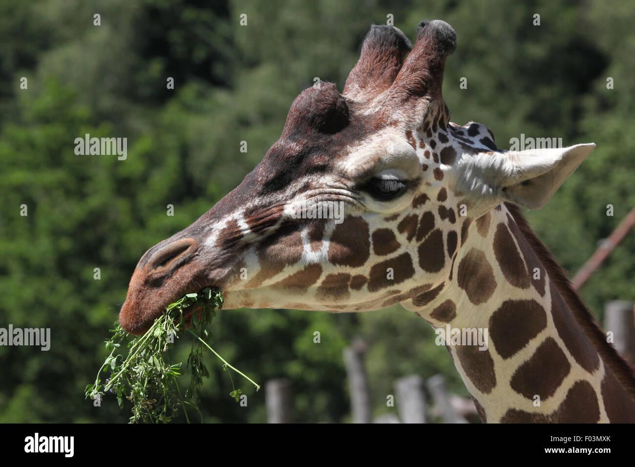 Reticulated giraffe (Giraffa camelopardalis reticulata), also known as the Somali giraffe at Jihlava Zoo in Jihlava, East Bohemi Stock Photo