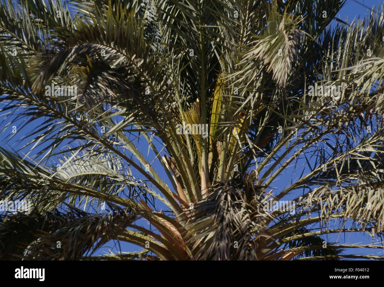 Date palm tree (Phoenix dactylifera), Al-Mani'a or El Golea oasis, Algeria. Stock Photo