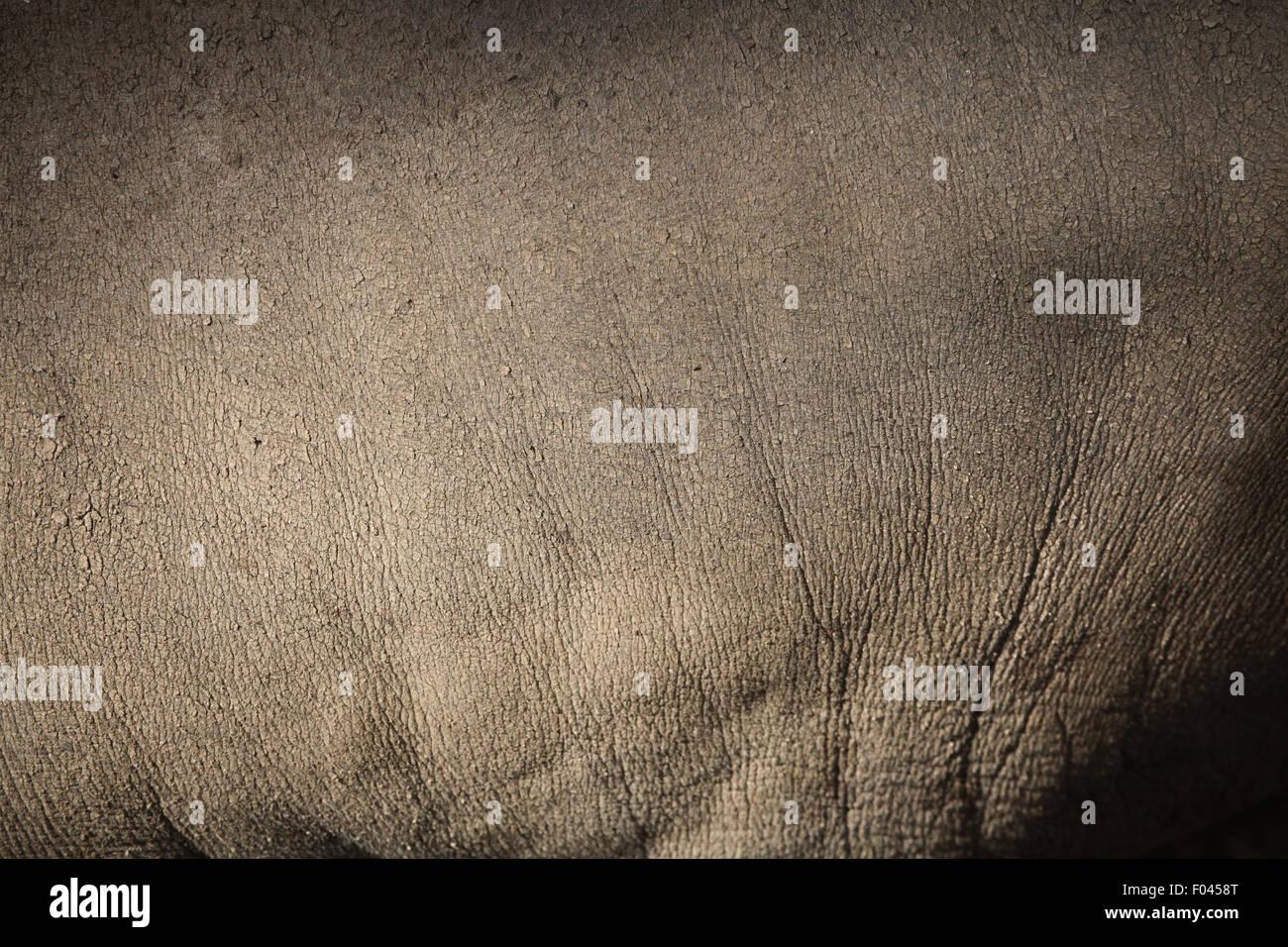 Sulawesi babirusa (Babyrousa celebensis) skin texture. Wild life animal. - Stock Image