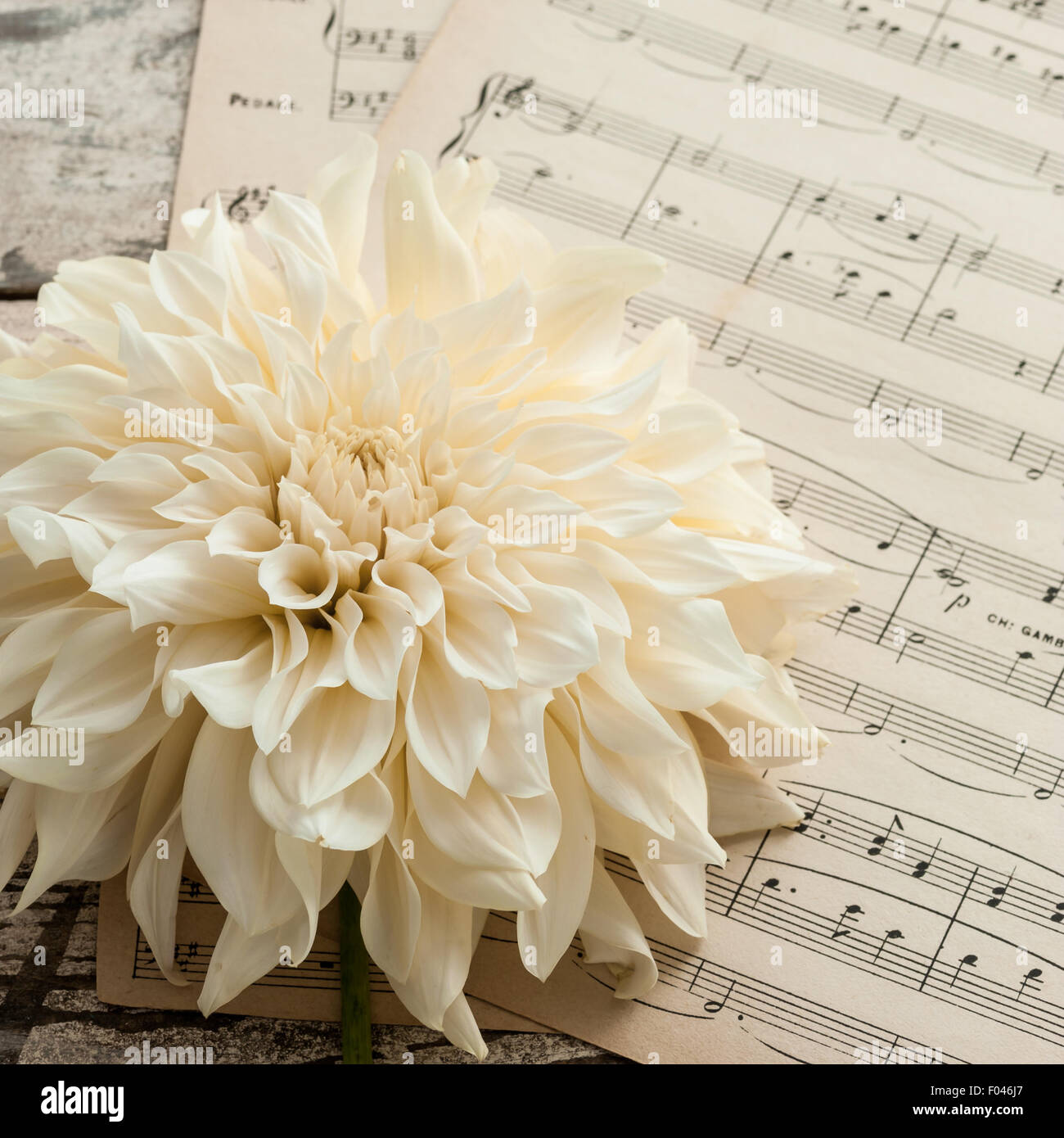 ivory dahlia on vintage music paper - Stock Image