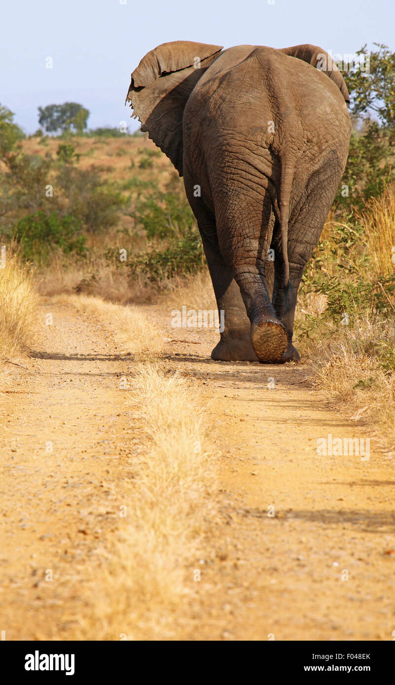 african elephant walks on the street, south africa, wildlife - Stock Image