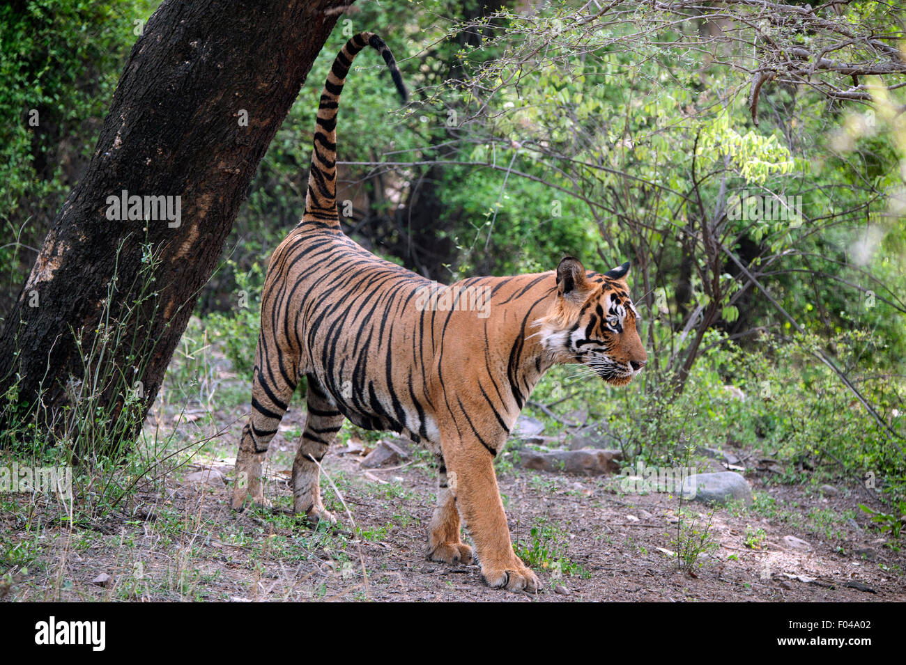 The image was taken in Ranthambore national park-India - Stock Image