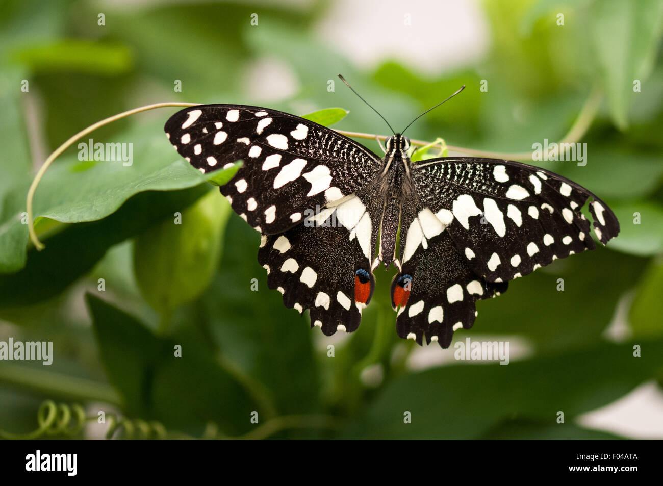 """Papilio demoleus """" Lemon Butterfly"""" at Sensational Butterflies Exhibition, Natural History Museum, London Stock Photo"""
