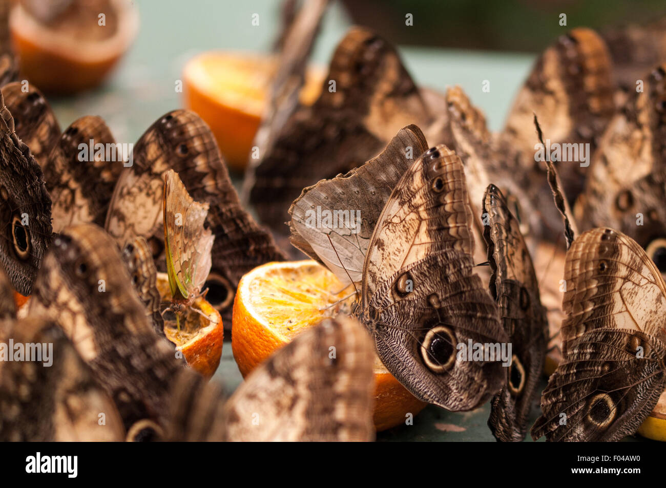 "Caligo "" Owl Butterflies"" feasting on oranges at Sensational Butterflies Exhibition, Natural History Museum, London Stock Photo"