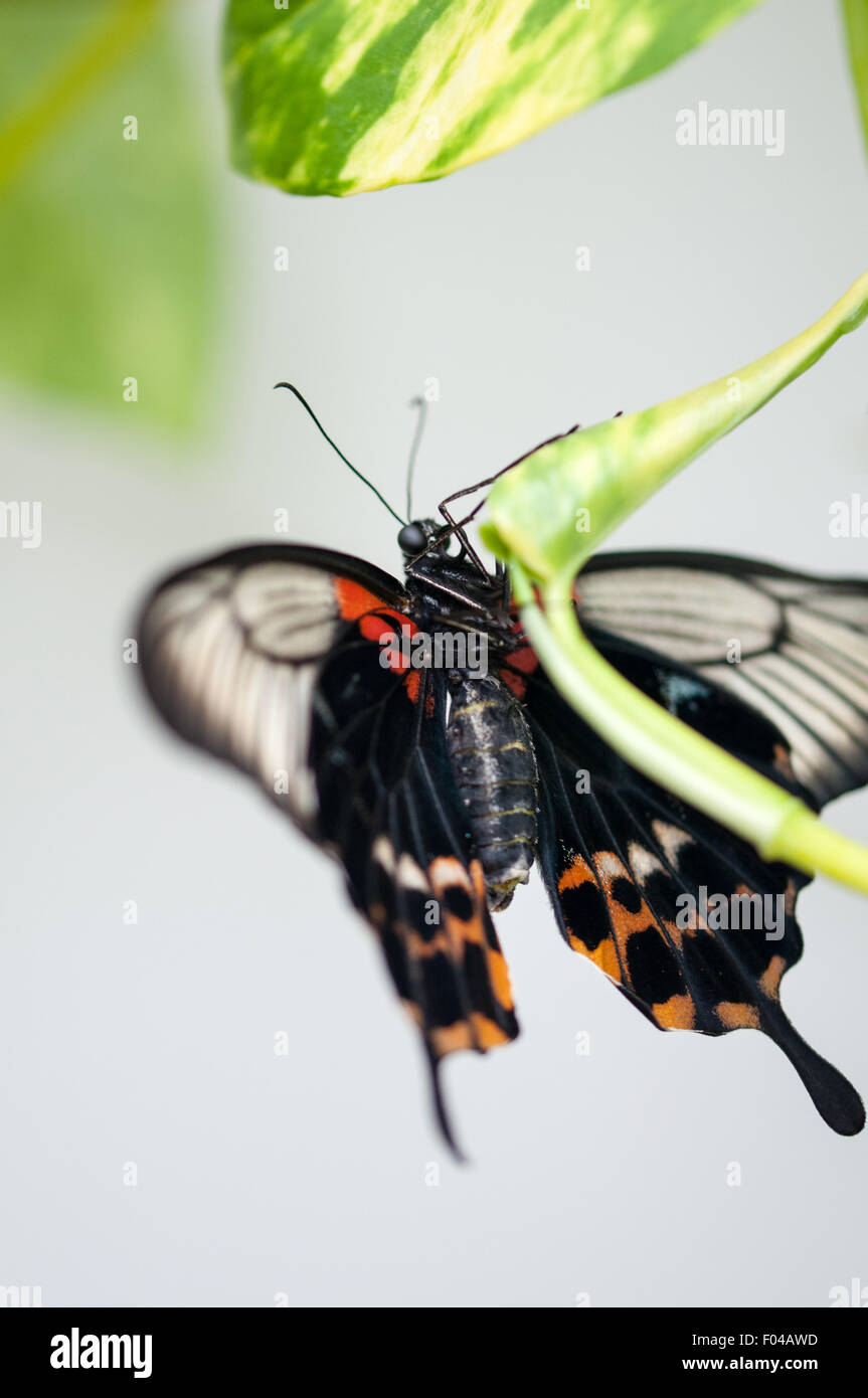 """Papilio polytes """" Common Mormon"""" Butterfly resting on a leaf at Natural History Museum, London England Stock Photo"""