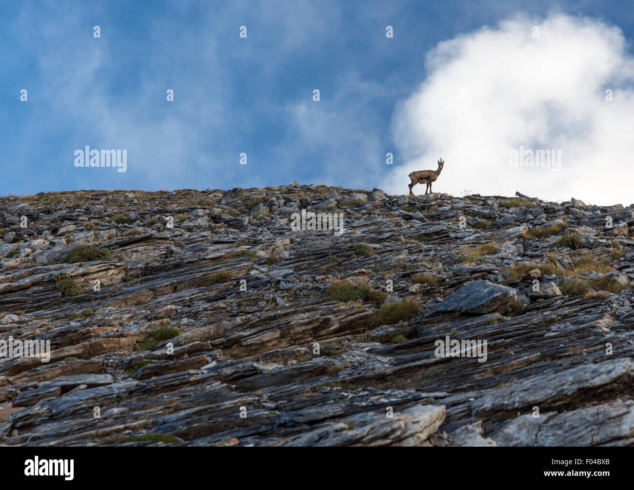 Ibex surveys the scene from its perch on a ridge above the trail to Mt Olympus Greece - Stock Image