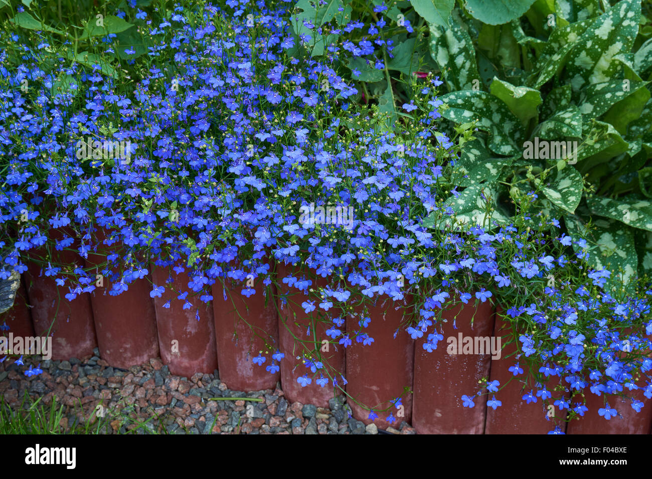 Lobelia Stock Photos Lobelia Stock Images Alamy