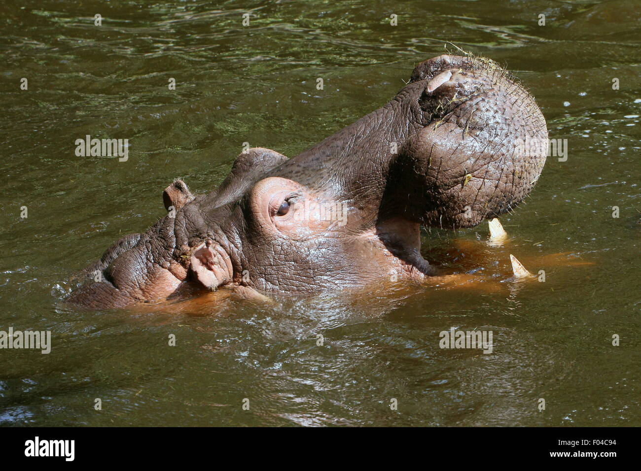 Submerged African Hippo (Hippopotamus amphibius) in close-up, rearing head up high - Stock Image