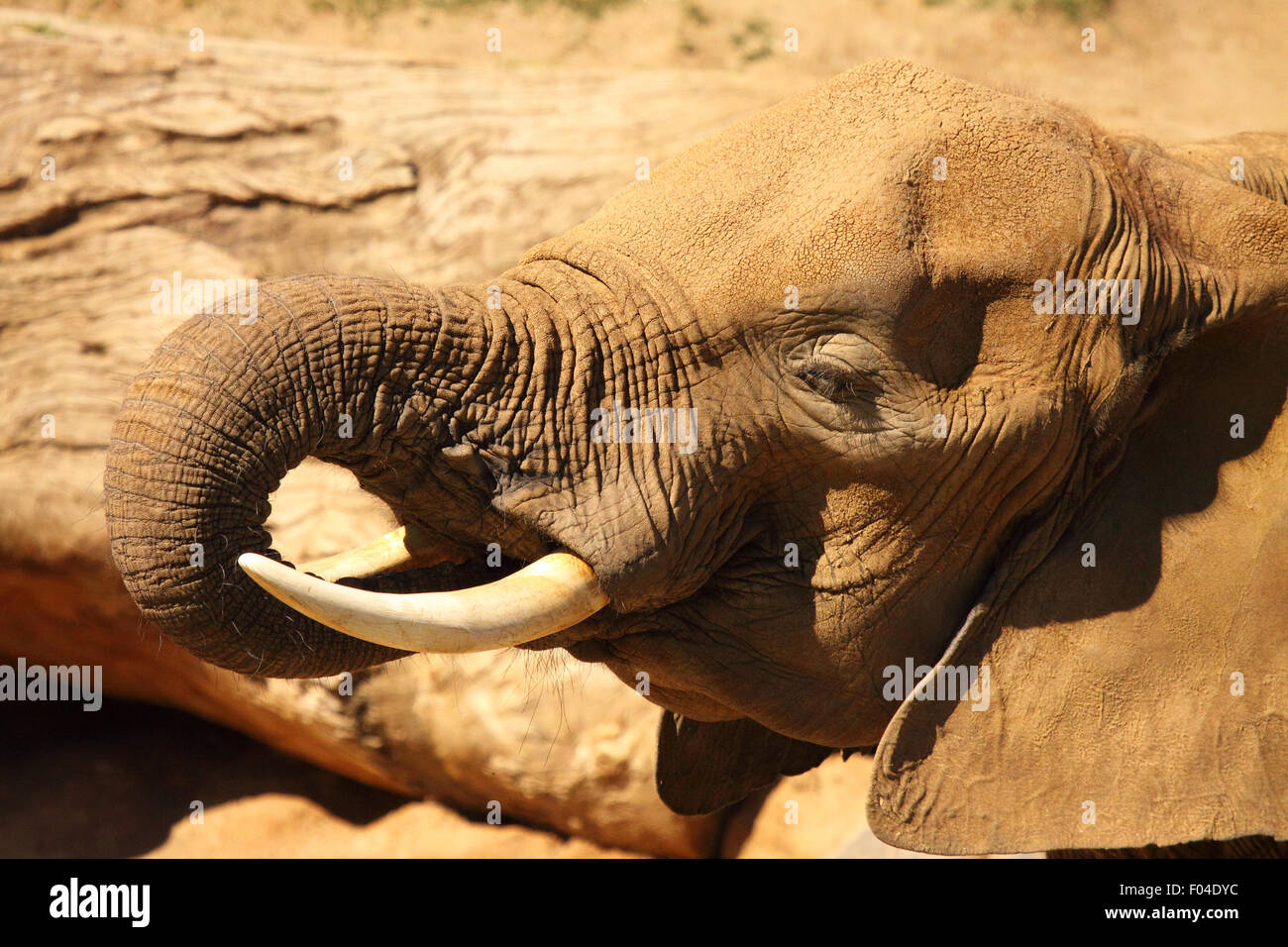 An Elephant drinking with its long trunk. - Stock Image