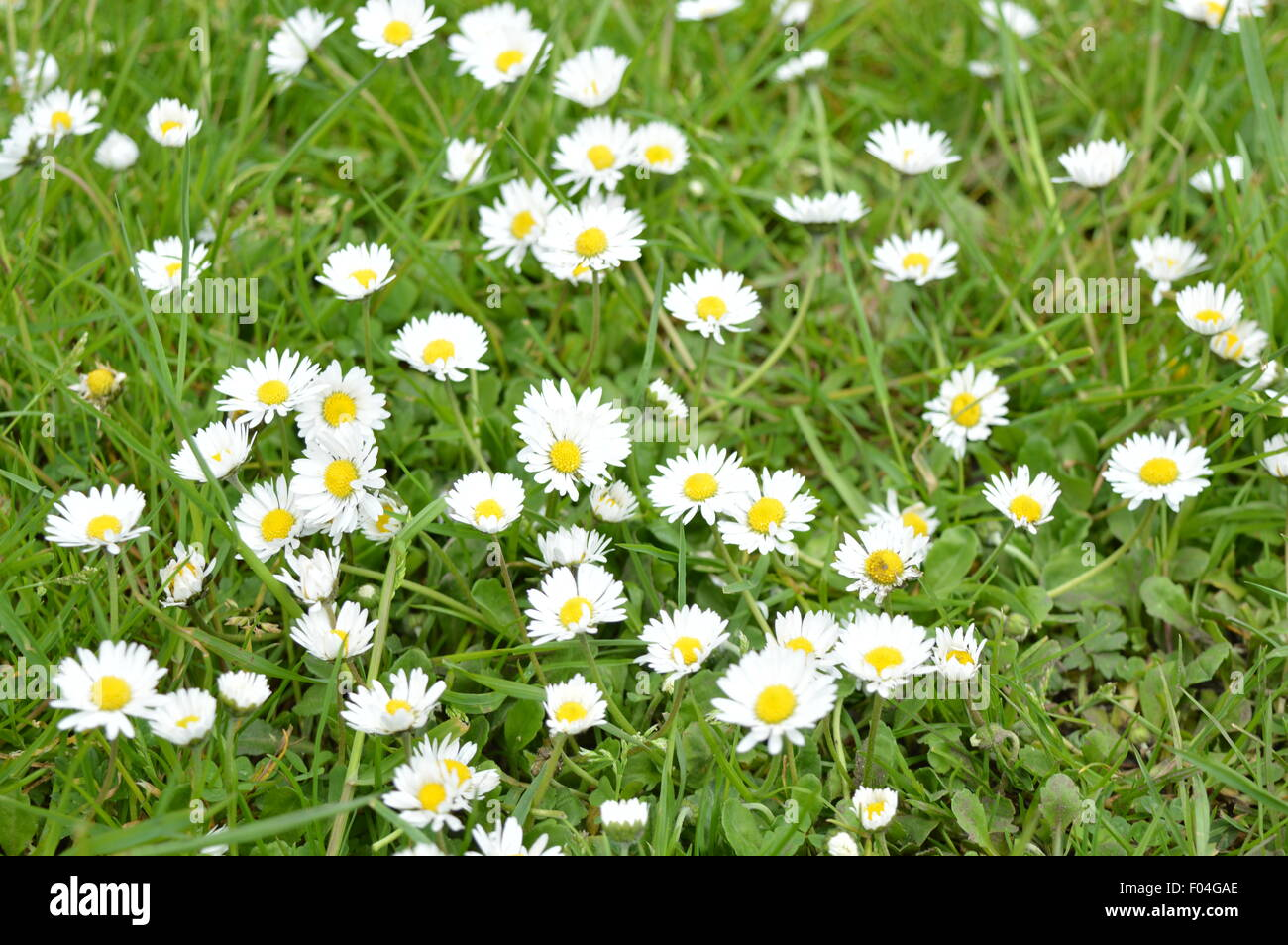 Nice And Beautiful Small White Flowers On The Grass Stock Photo