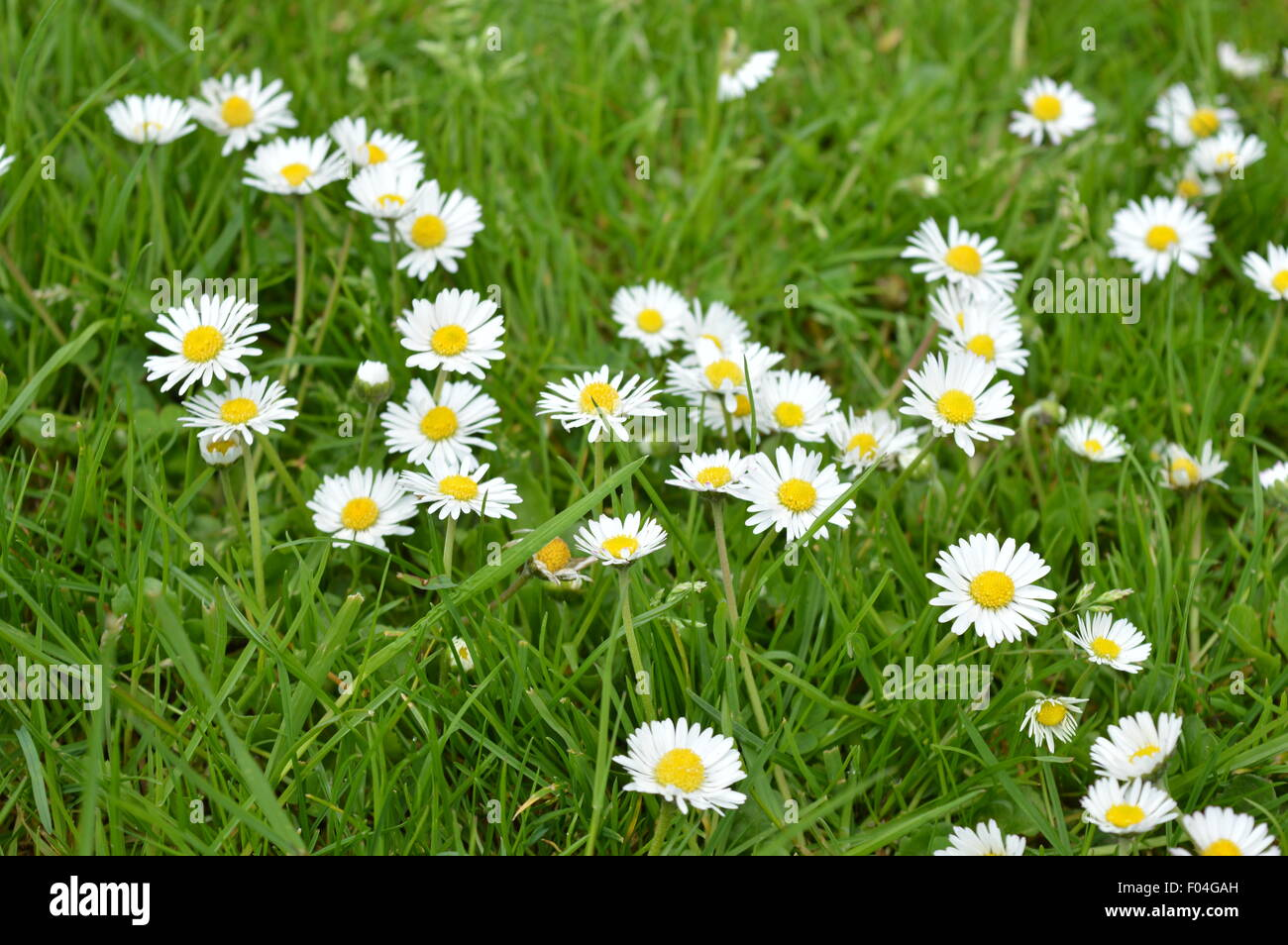 Nice and beautiful small white flowers on the grass stock photo nice and beautiful small white flowers on the grass mightylinksfo